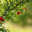 Red plums in the orchard - Stock Photo