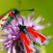 Zygaena — Stock Photo