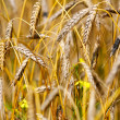 Golden wheat — Stock Photo