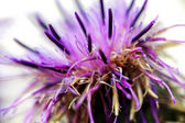 Thistle background — Stock Photo