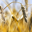 Golden wheat — Stock Photo #3623993