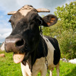 Close up of a funny cow — Stock Photo