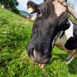 Cow — Stock Photo #3707361
