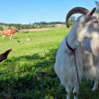 Goat and farm animals - Stock Photo