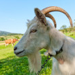 Stock Photo: Goat