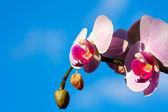 Lila magnolia blommor på blå himmel — Stockfoto