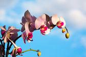 Magnolia zaostrzona — Zdjęcie stockowe