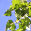 Green Leaves against the Sky — Stock Photo #3785845