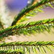 Green pine branch - Stock Photo