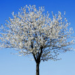 Single blossoming tree — Stock Photo