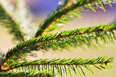 Yeşil çam dalı — Stok fotoğraf