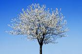 Single blossoming tree — Stock Photo
