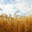 Golden wheat — Stock Photo #3793288