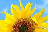 подсолнечник на голубое небо — Стоковое фото