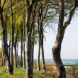 Coastal Tree - Stock Photo