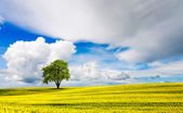 Lone Oak Tree in yellow oilseed field — Stock Photo
