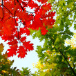 Fall leaves against the blue sky — Stock Photo