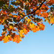 Maple tree in autumn forest - Stock Photo