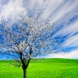 Stock Photo: Blossoming tree