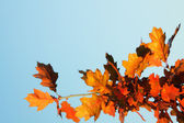 橡树叶 — 图库照片