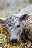Cow — 图库照片
