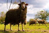 Owiec — Zdjęcie stockowe