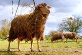 Pecore sul campo — Foto Stock
