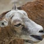 Mouflon — Stock Photo #2729178