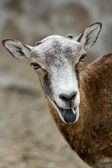 Mufflonfår — Stockfoto