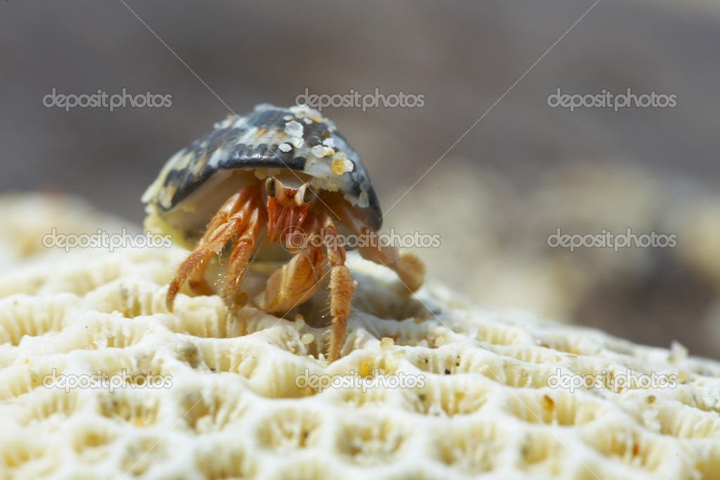 Hermit crab crawling with his house — Stock Photo #2899519