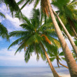 Coconut palms — Stock Photo