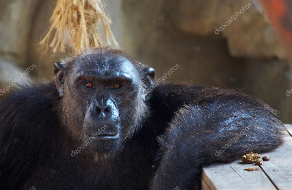 View of big black hairy mature male chimpanzee  in its cave  Stock Photo #2900525