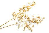 Stalks of oats — Stock Photo