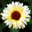 Stock Photo: White gerberflower