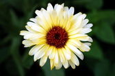 White gerbera flower — Stock Photo