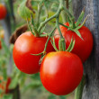 Tomatoes — Stock Photo #3722515
