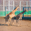 Stock Photo: Three giraffes