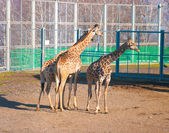 Three giraffes — Stock Photo