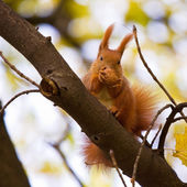 Squirrel on the branch — 图库照片