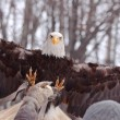 Stock Photo: Landing eagle