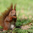 Red squirrel — Stock Photo #3339728