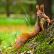 Stock Photo: Red Eurasisquirrel