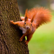 Red Eurasian squirrel - Stock Photo