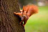 Red Eurasian squirrel — Stock Photo