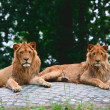Stock Photo: Pair of lions