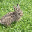 Stock Photo: Small little hare
