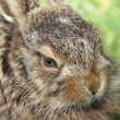 Stock Photo: Little hare portrait