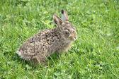Küçük küçük tavşan — Stok fotoğraf