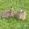 Two little hares - Stock Photo