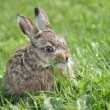 Stock Photo: Little hare